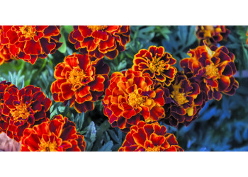 Бархатцы: узнайте, как вырастить однолетний цветок